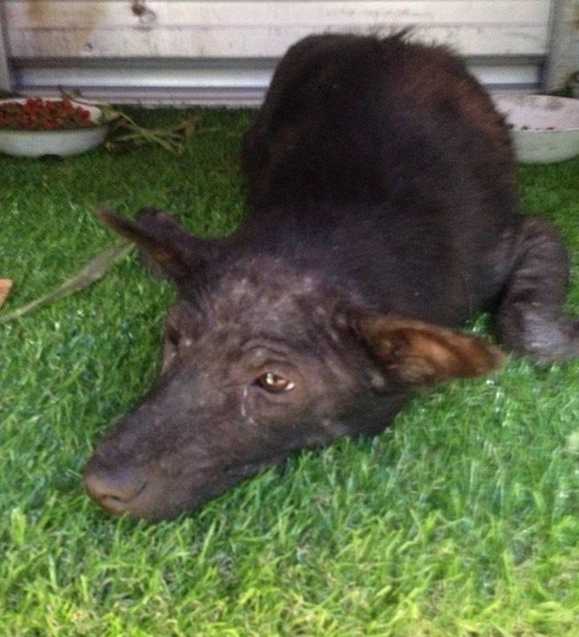 Tinka - Happy Dogs Koh Chang- animal welfare and shelter