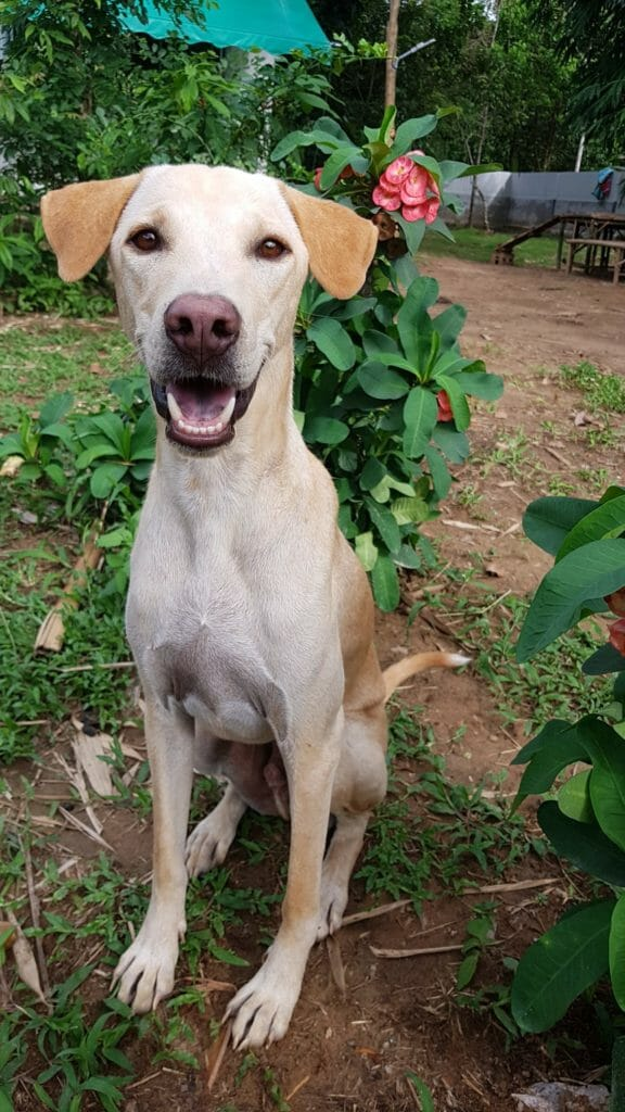 1E45B43E 0E3B 4D6A 9FA2 50C7FF81B762 | Happy Dogs Koh Chang- animal welfare and shelter care Thailand