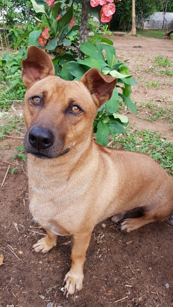 423B5E15 408F 44F7 97F8 97B5FAF1A481 | Happy Dogs Koh Chang- animal welfare and shelter care Thailand