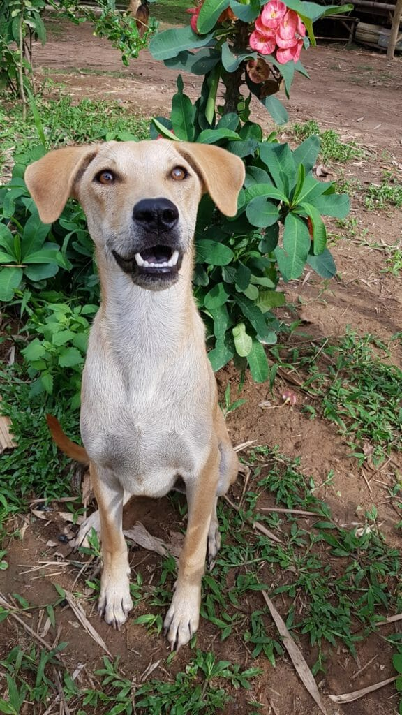 476C1409 5965 4ACE 8075 A4F17CF65CDE | Happy Dogs Koh Chang- animal welfare and shelter care Thailand