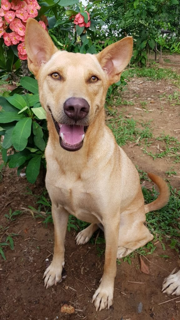 4A595EE1 FEAF 41ED 933D AD86E05E3116 | Happy Dogs Koh Chang- animal welfare and shelter care Thailand