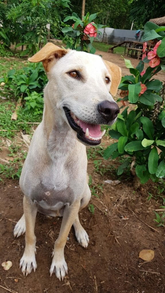 5819482C D136 4880 9A29 7DD554B18762 | Happy Dogs Koh Chang- animal welfare and shelter care Thailand