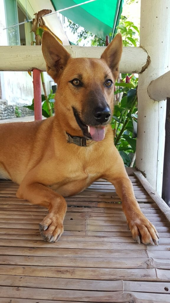 AA994330 DFAA 45EB A93E CBD3055D4806 | Happy Dogs Koh Chang- animal welfare and shelter care Thailand