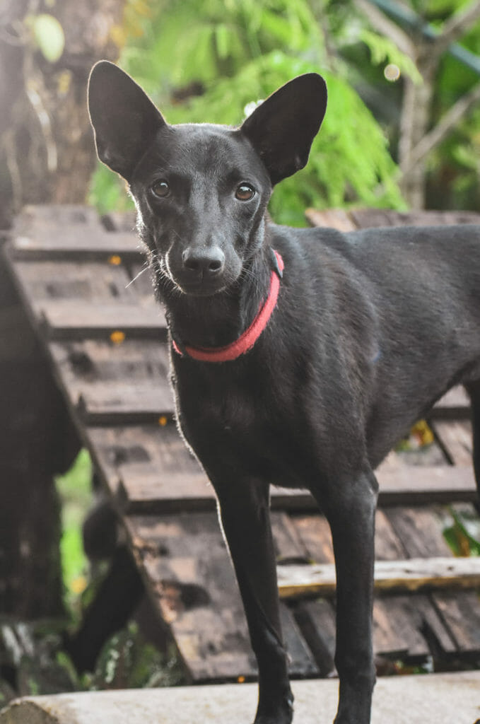 Angel new 1 e1596713657221 | Happy Dogs Koh Chang- animal welfare and shelter care Thailand