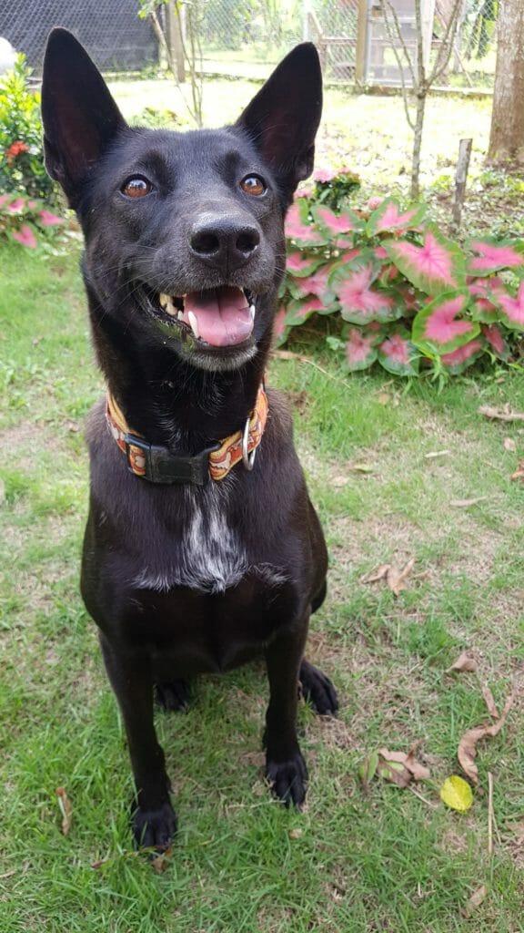 DEEA1686 6A2A 47D2 BDA0 61E8BA91504C | Happy Dogs Koh Chang- animal welfare and shelter care Thailand