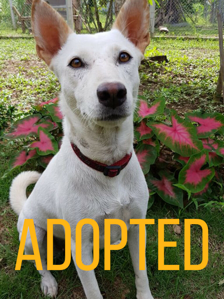 cream | Happy Dogs Koh Chang- animal welfare and shelter care Thailand
