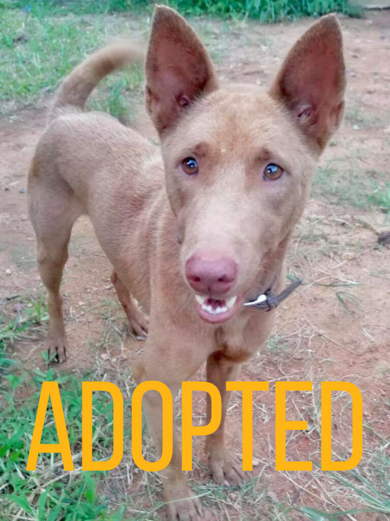 ginger | Happy Dogs Koh Chang- animal welfare and shelter care Thailand