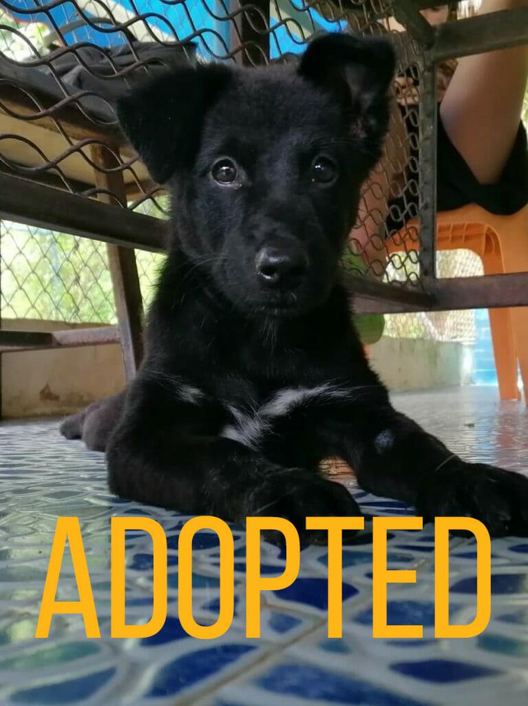 Ebony main | Happy Dogs Koh Chang- animal welfare and shelter care Thailand