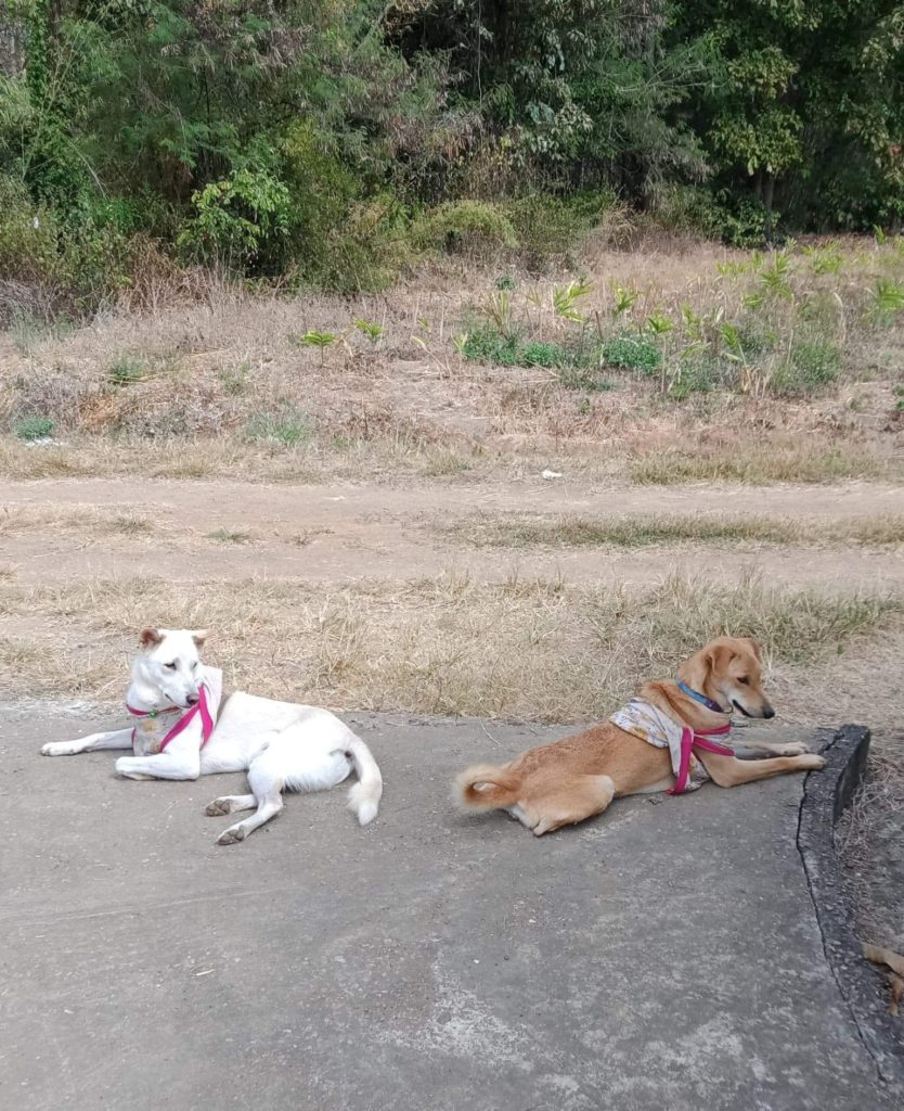 Attachment 1610257606 | Happy Dogs Koh Chang- animal welfare and shelter care Thailand